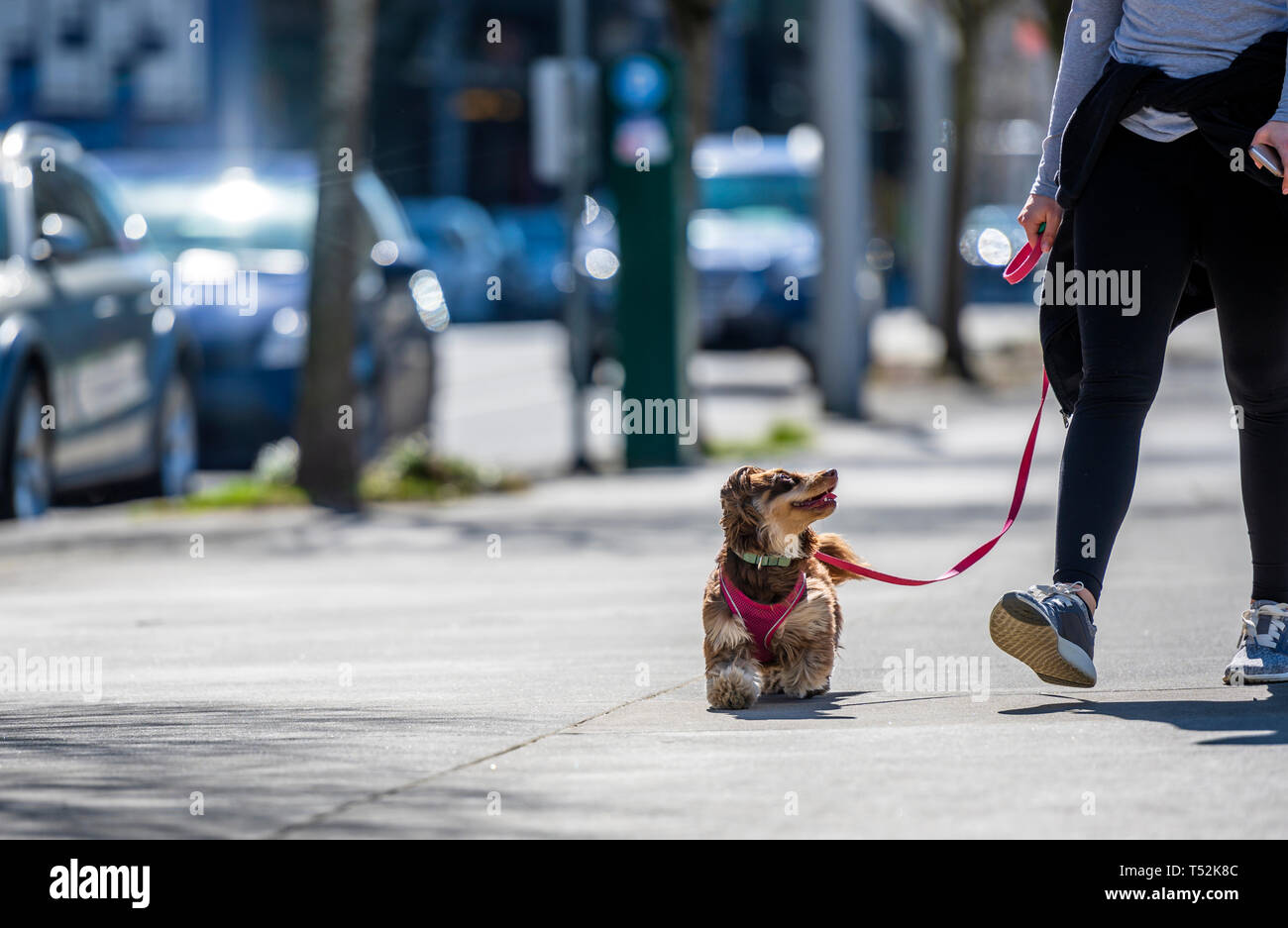 An elegant young girl in sportswear walks her small, playful dog on a leash - a shaggy terrier dog, who merrily runs down the street with devotion loo - Stock Image
