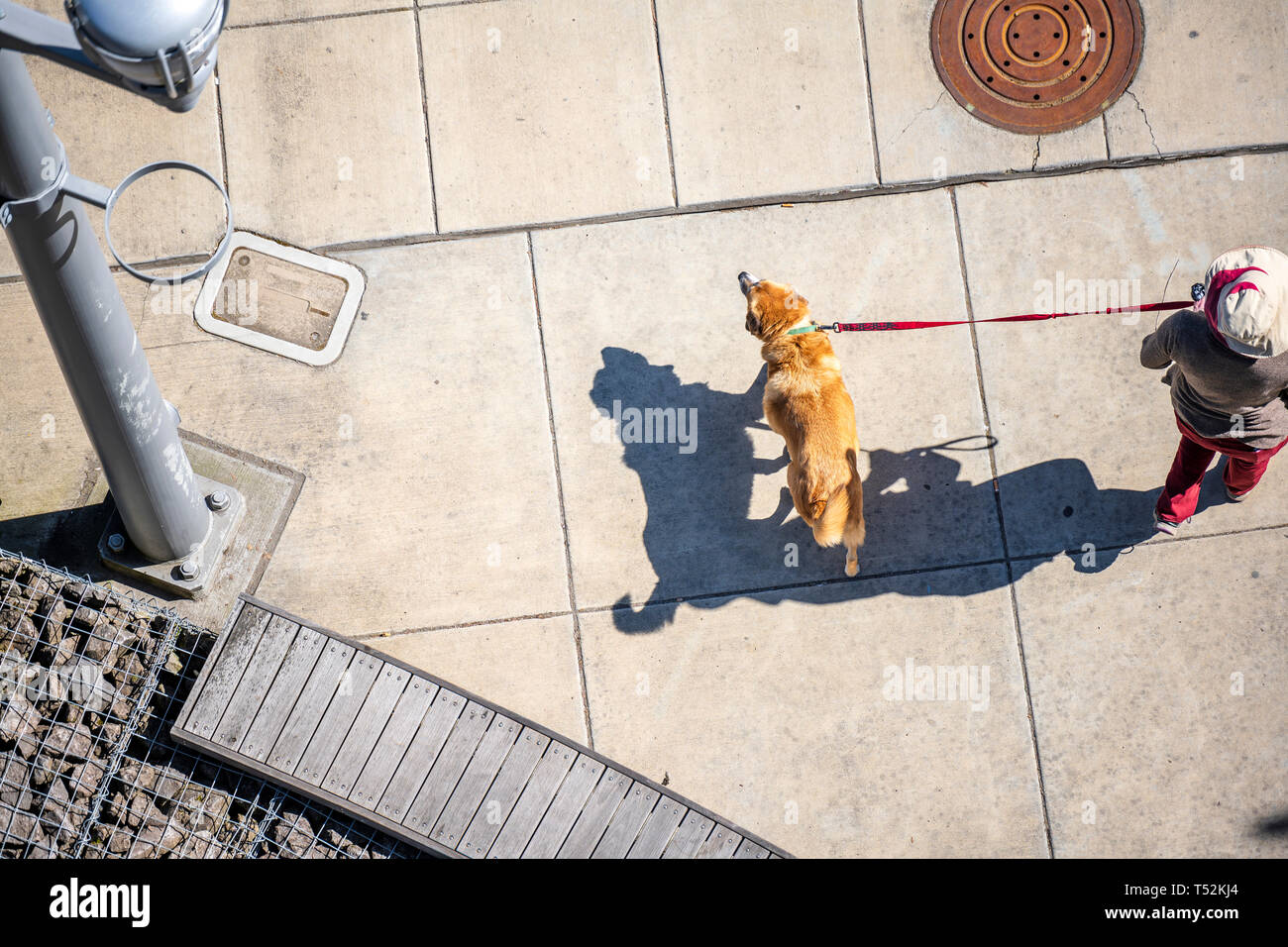 A woman in a hat is walking on a leash along the street of the city of her beloved dog - a red-haired Labrador, who is happy to run on the concrete si - Stock Image