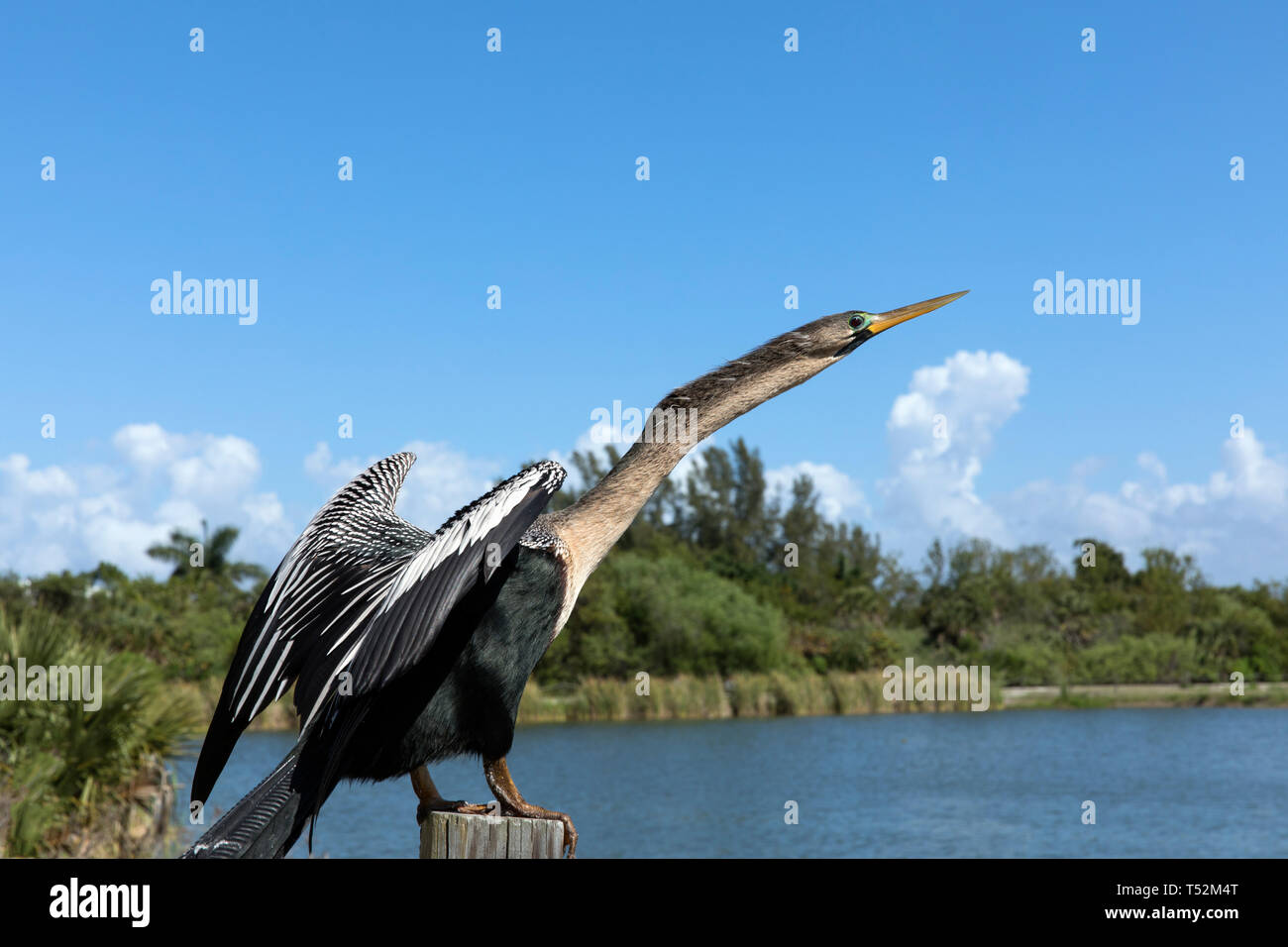 Anhinga bird, drying it's feathers in the sun - Stock Image