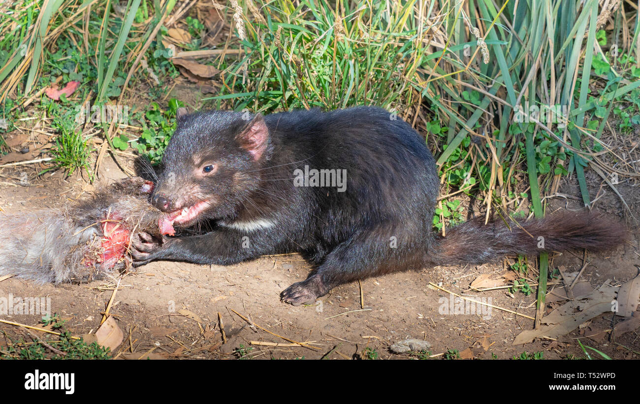 A Tasmanian Devil (Sarcophilus harrisii), a carnivorous marsupial of the family Dasyuridae, feeding on the carcass of a wallaby. Stock Photo