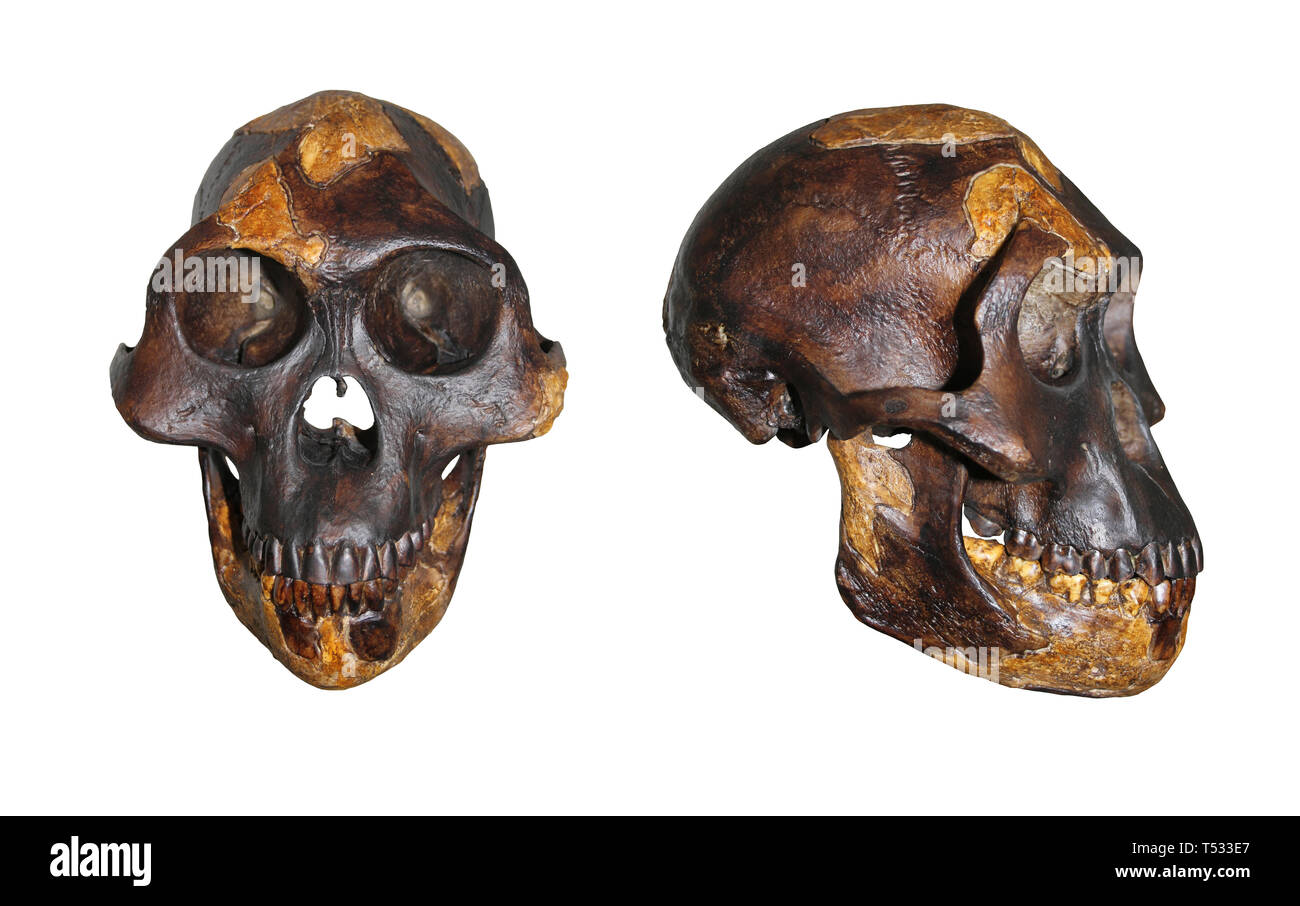 Skull of Lucy Australopithecus afarensis Front and Side Comparison - Stock Image