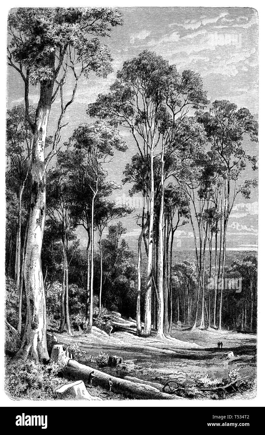 eucalyptus forest, O[laf] W[inkler]  1897 - Stock Image