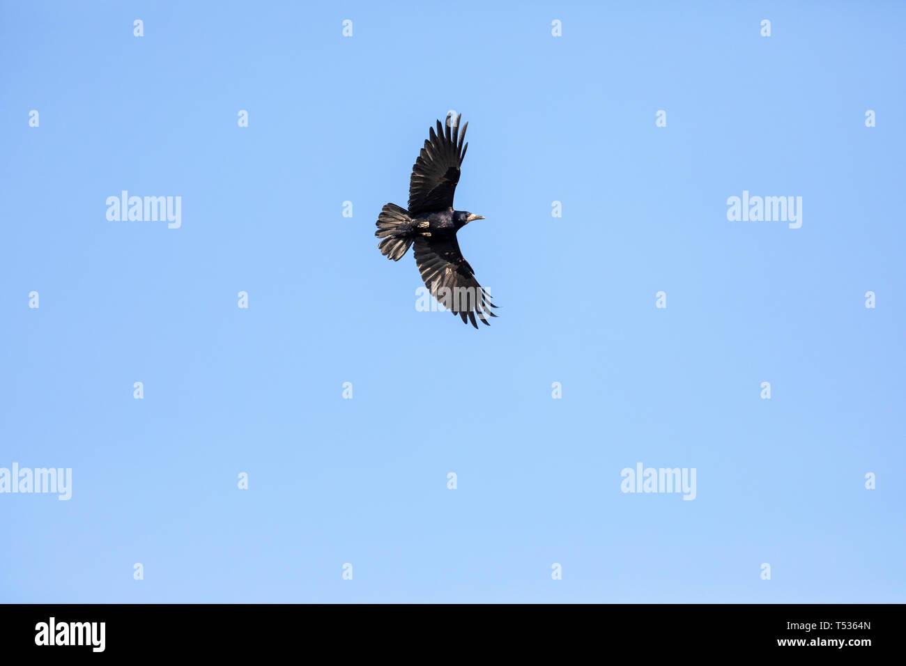 Black Raven Flying in a Blue Sky. - Stock Image