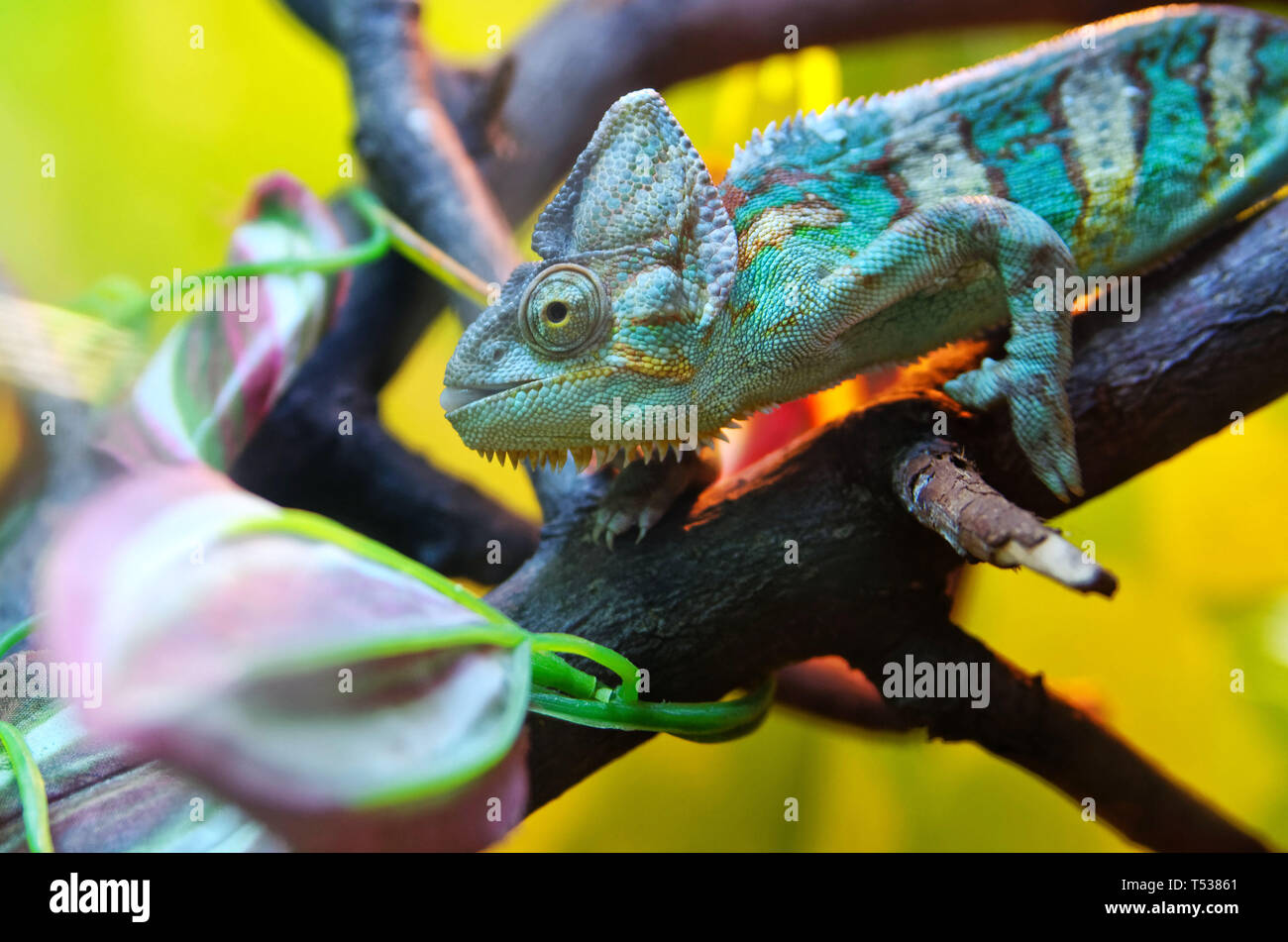 Chameleon sitting on a tree branch. Mimicry under a colorful environment. Reptile, lizard. - Stock Image