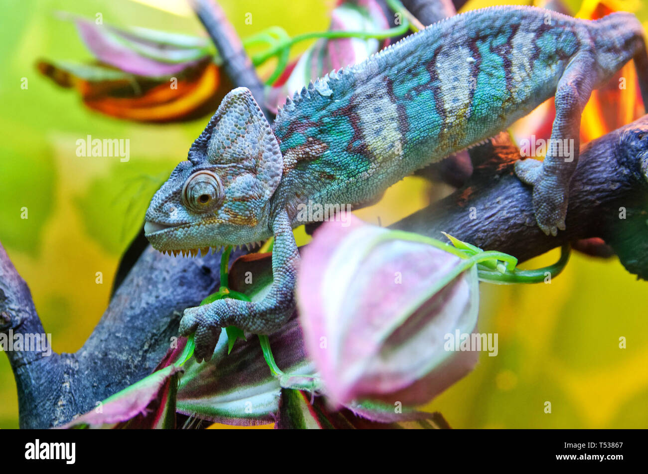 Chameleon sits on a tree branch and adapts to a multi-colored environment. Reptile, lizard. - Stock Image