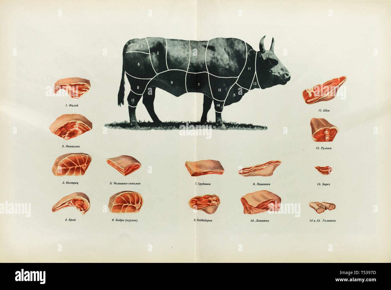 Russian beef cuts depicted in the colour illustration in the Book of Tasty and Healthy Food published in the Soviet Union (1953). Index: 1 - thin edge or short filet (file in Russian); 2 - sirloin (okovalok); 3 - leg (kostrets); 4 - thick edge or rib eye (kray); 5 - brisket (chelyshko sokolok); 6 - rump or hip (bedro or oguzok); 7 - brisket (grudinka); 8 - rump or hip (podbedrok); 9 - flank (pashinka or pashina); 10 - shoulder (lopatka); 11 - neck (sheya); 12 - hock or hough (rulka); 13 - first cut (zarez); 14 and 15 - shank (golyashka). Stock Photo