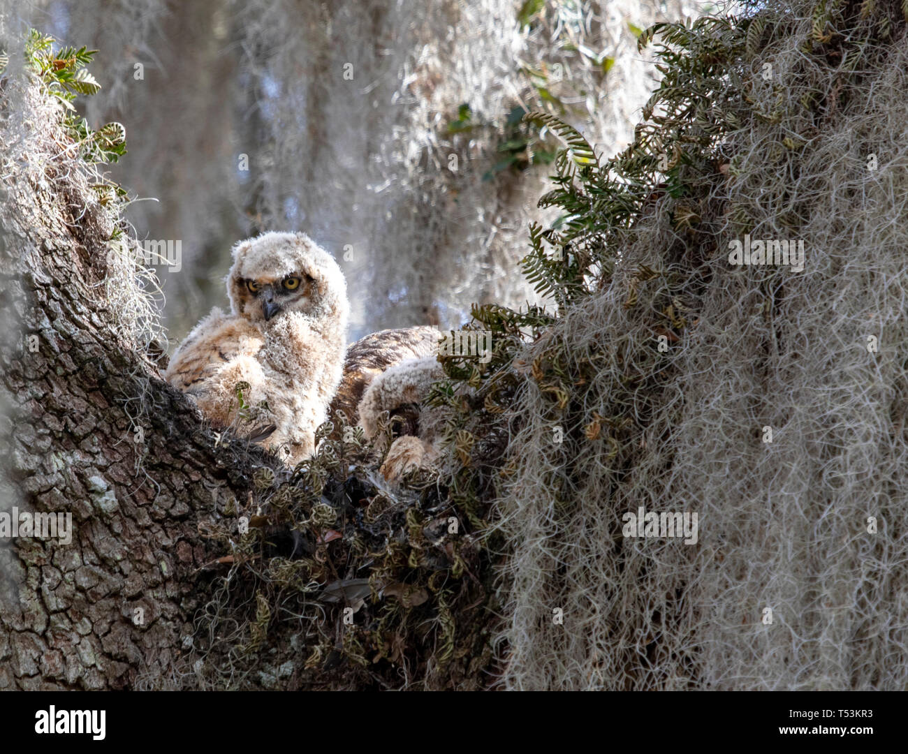 Hidden in the Spanish moss in the huge trees along the La chua trail in Gainesville, Florida was a family of Great Horned owls - Stock Image