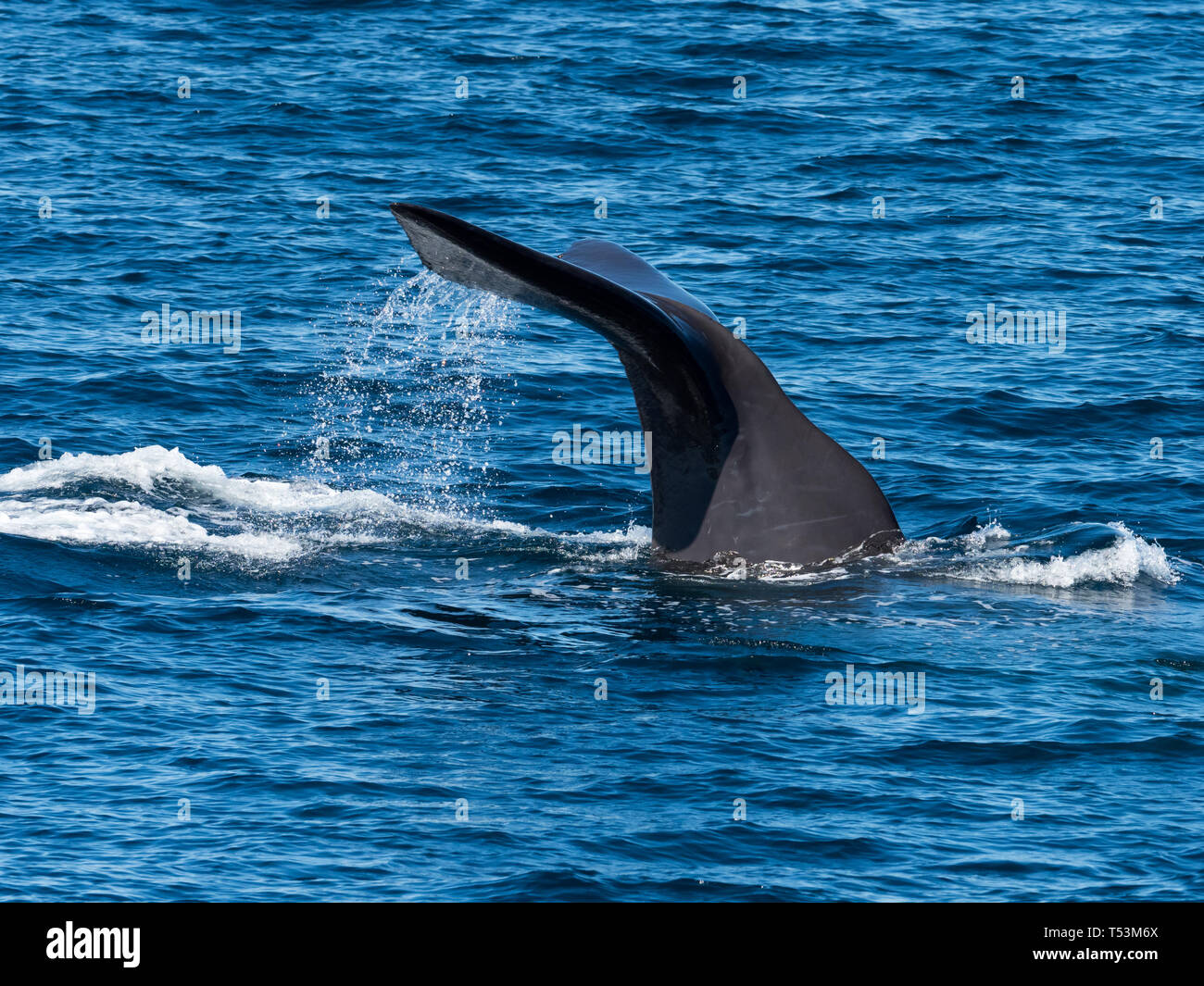 A sperm whale, Physeter macrocephalus, largest toothed whale, showing its tail flukes as it dives deep in the sea of Cortez in Baja, Mexico Stock Photo