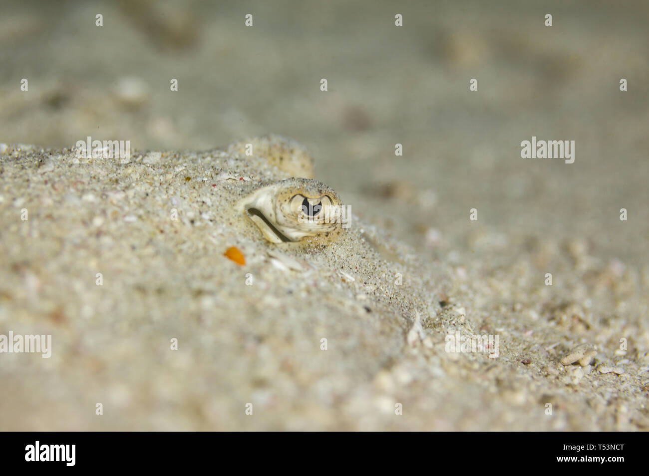 Bothus ocellatus flat, left eyed Flounder camouflaged in sand shows two eyes only - Stock Image