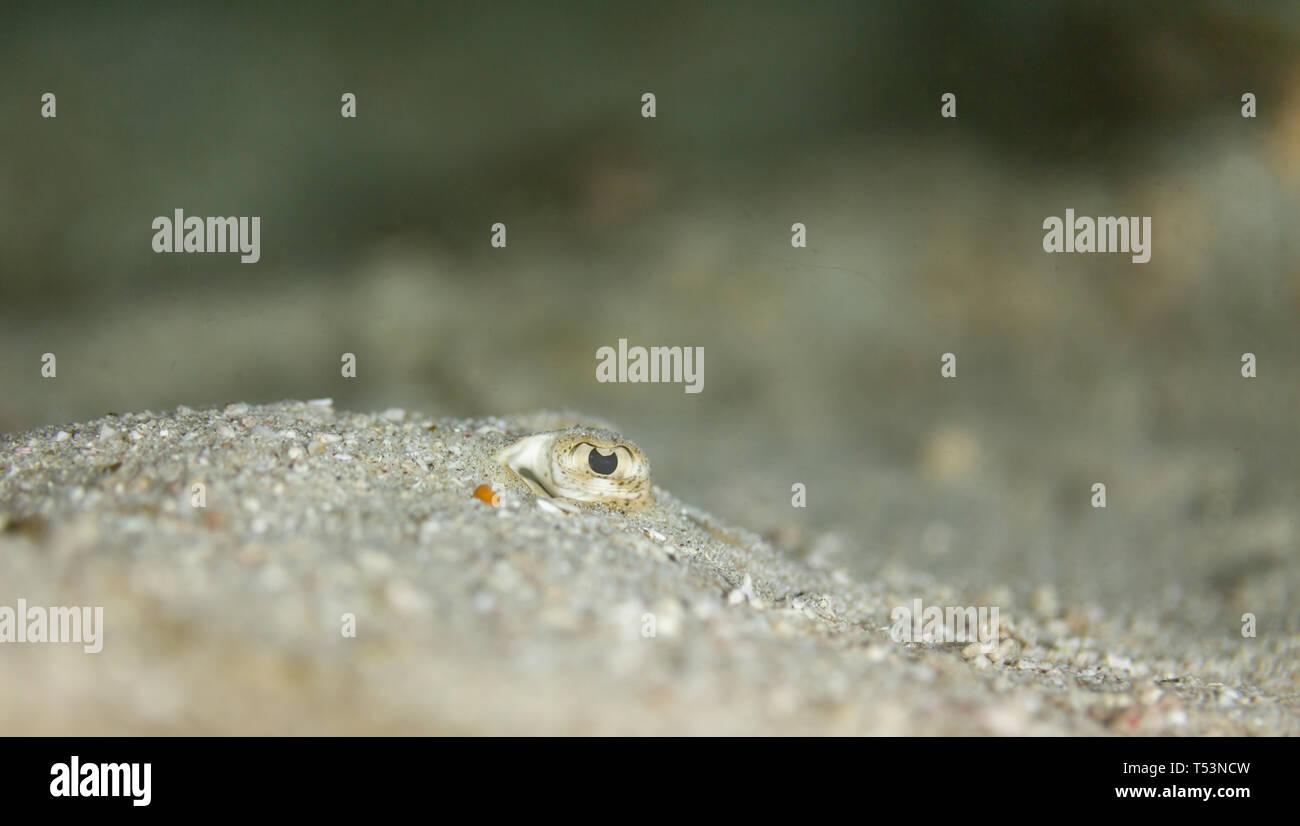 Bothus ocellatus flat, left eyed Flounder camouflaged in the white sand - Stock Image