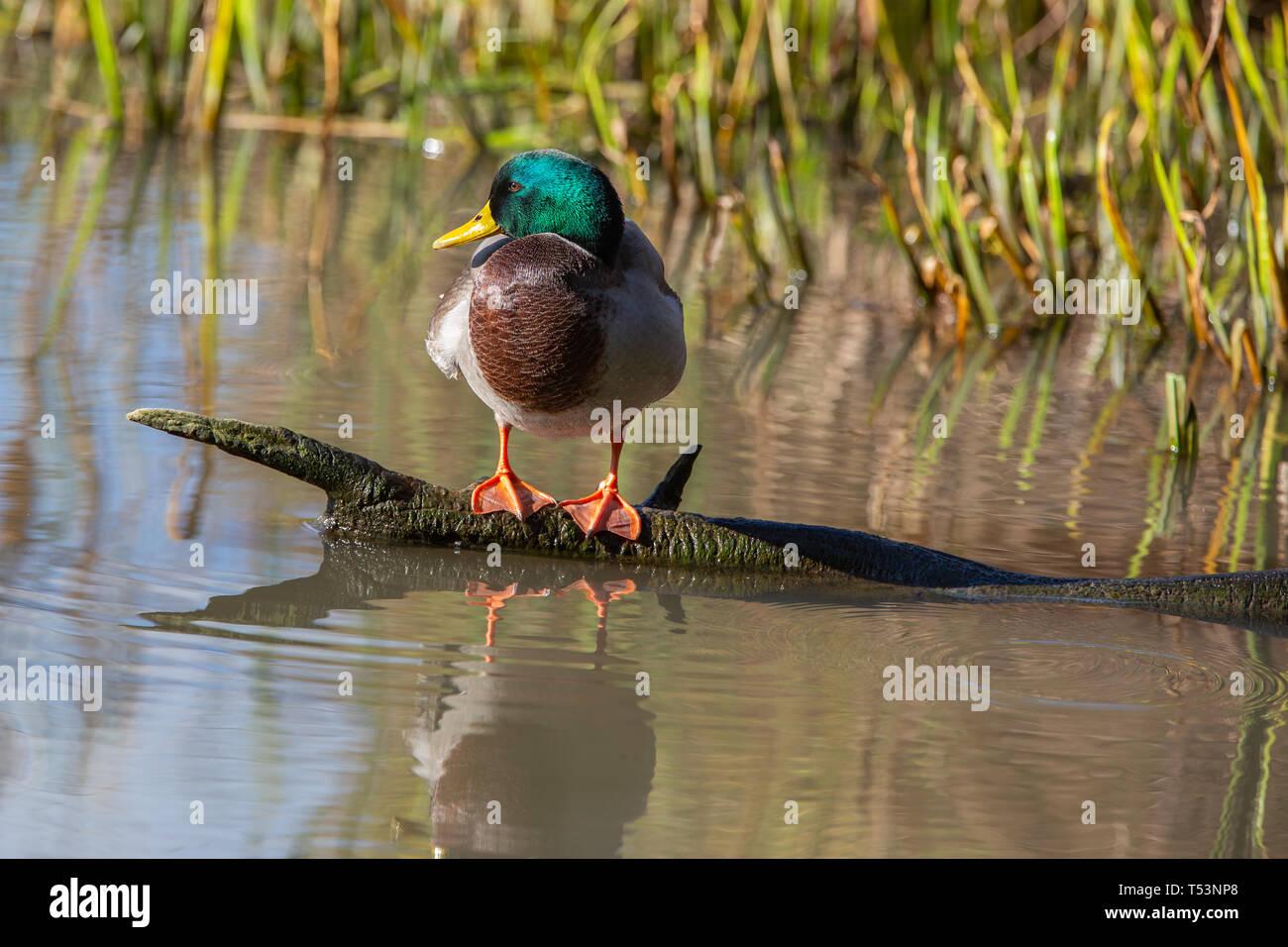 Male Mallard [ Anas platyrhynchos ] on log with reflection  at Slimbridge Stock Photo