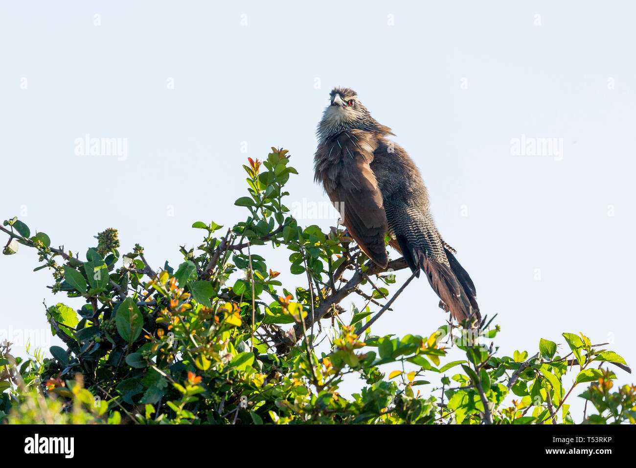 A White-browed coucal on top of a bush looking around, close side view, Ol Pejeta Conservancy, Laikipia, Kenya, Africa - Stock Image
