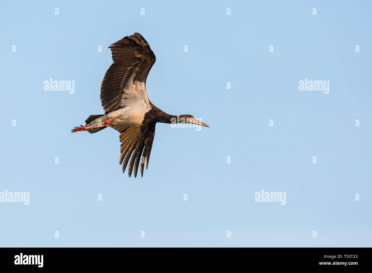 A single Black Stork flying in warm early morning light, close view from beneath, Ol Pejeta Conservancy, Laikipia, Kenya, Africa Stock Photo