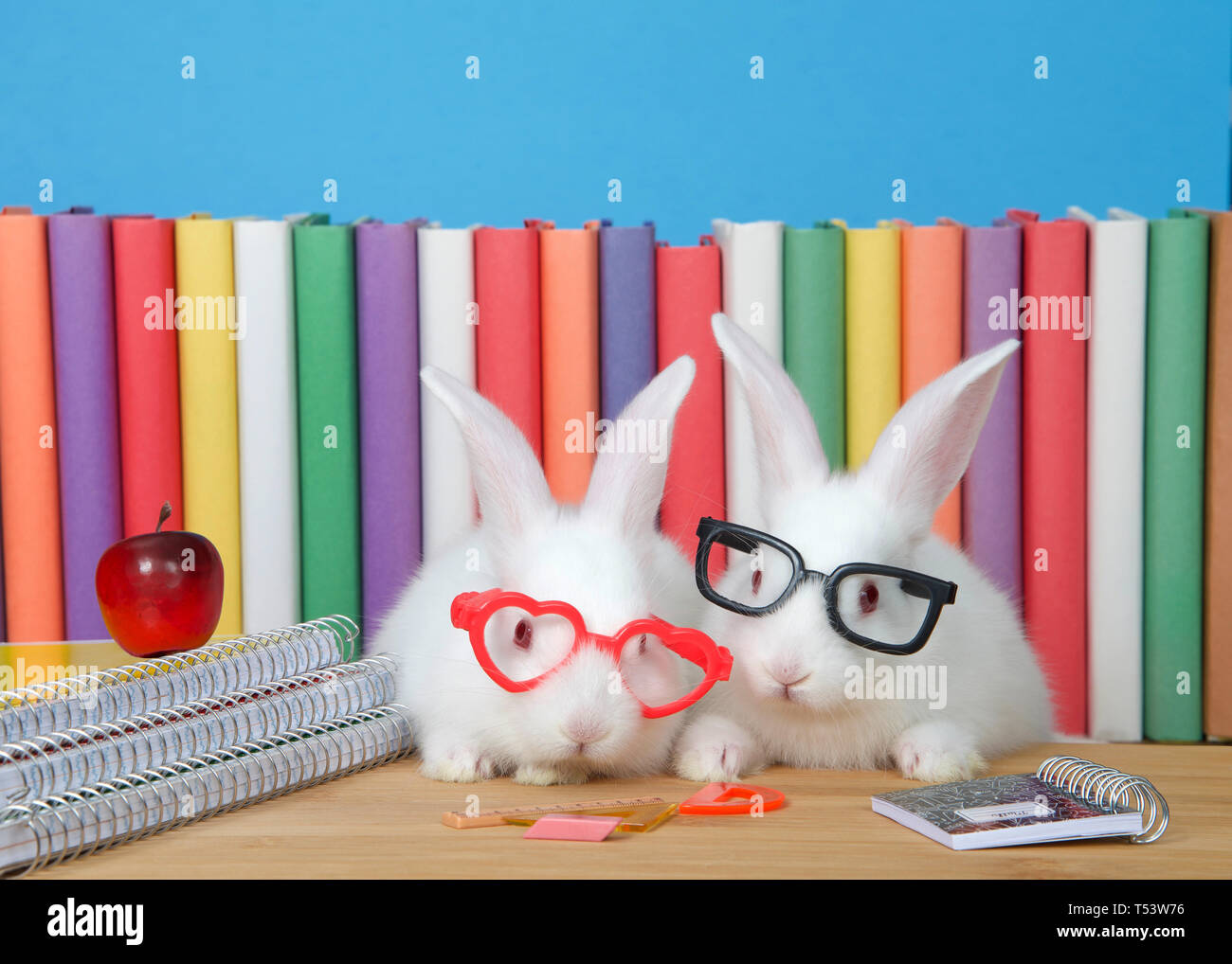 Two adorable white albino baby bunny rabbits wearing geeky glasses sitting at a wood desk with spiral bound notebooks, math supplies and a tiny red ap - Stock Image