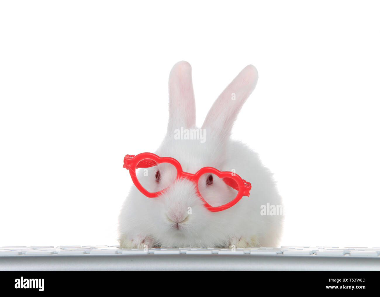 Portrait of an adorable white albino baby bunny rabbit wearing heart shaped pink glasses, paws on computer keyboard looking directly at viewer as if l - Stock Image