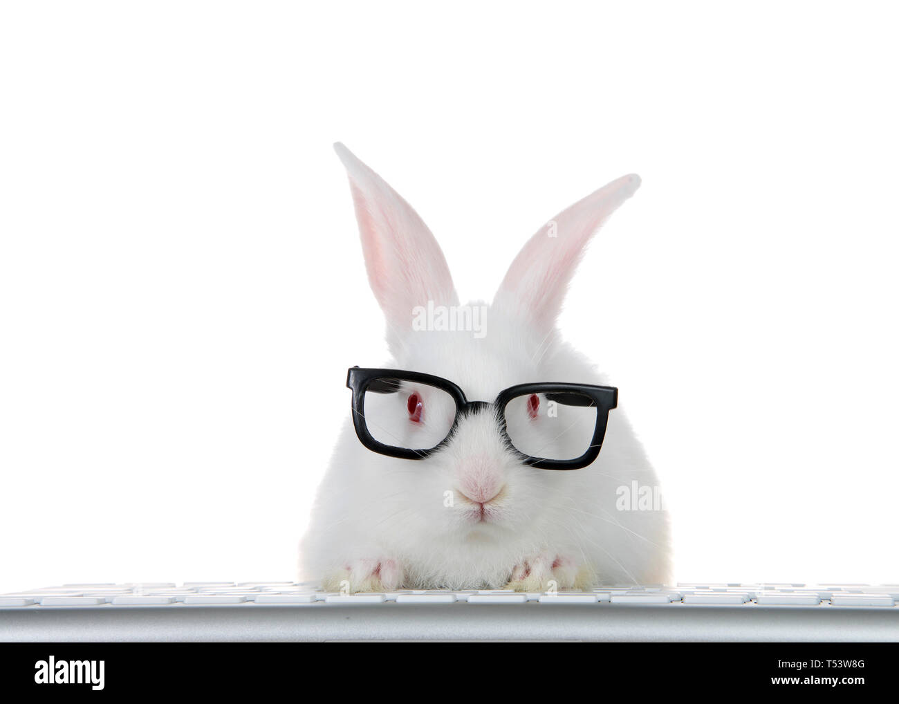 Portrait of an adorable white albino baby bunny rabbit wearing intelligent geeky looking black glasses, paws on computer keyboard looking directly at  Stock Photo