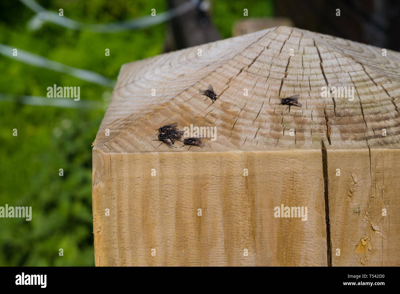 UK. Flies on a fence post on a warm spring day in England. - Stock Image