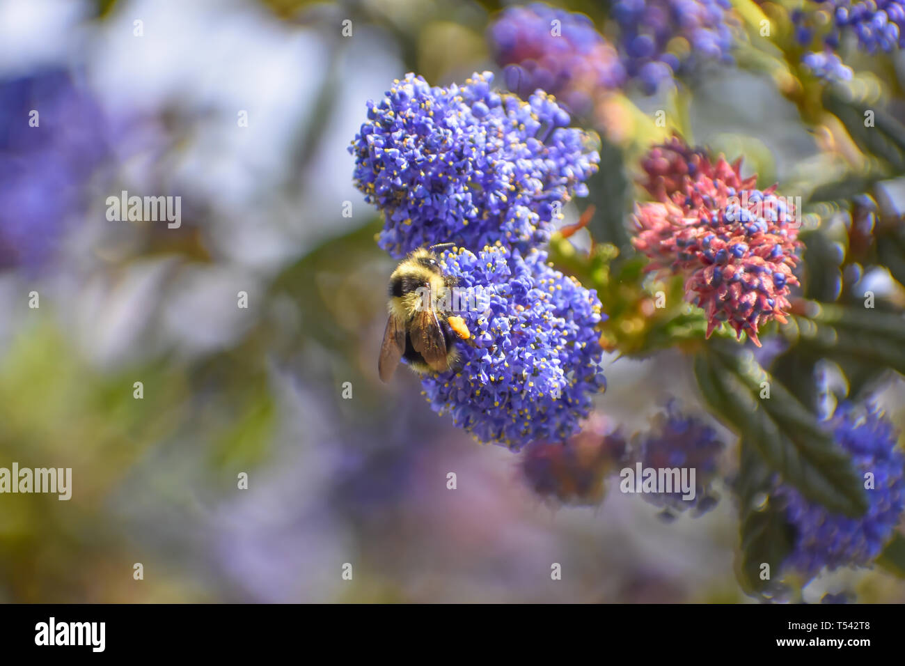 Closeup of a yellow and black bumble bee on the purple blossom of a wild lilac against the background of flowers and leaves. - Stock Image