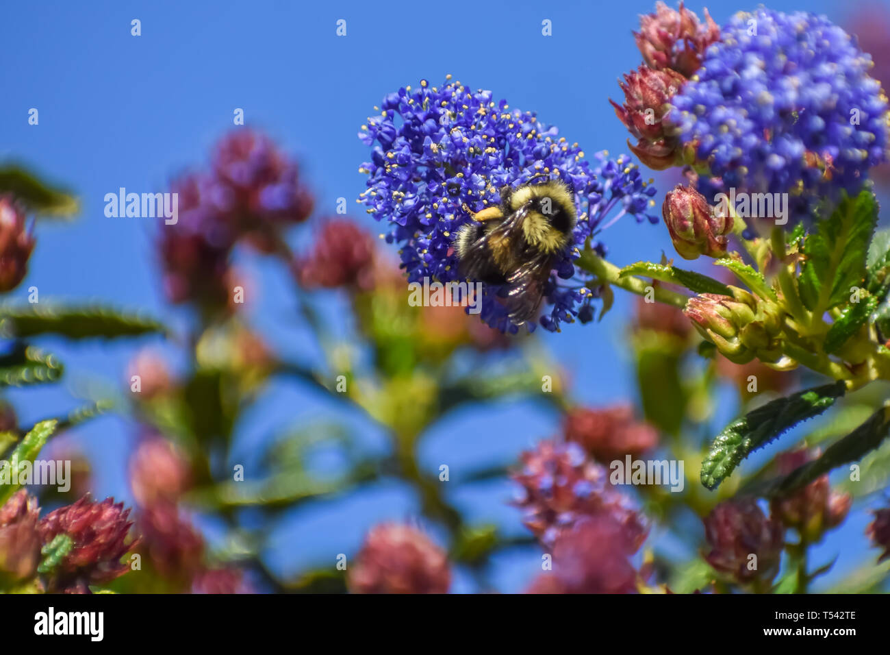 Yellow and black bumble bee on the purple blossom of a wild lilac against the background of flowers and a blue sky. - Stock Image