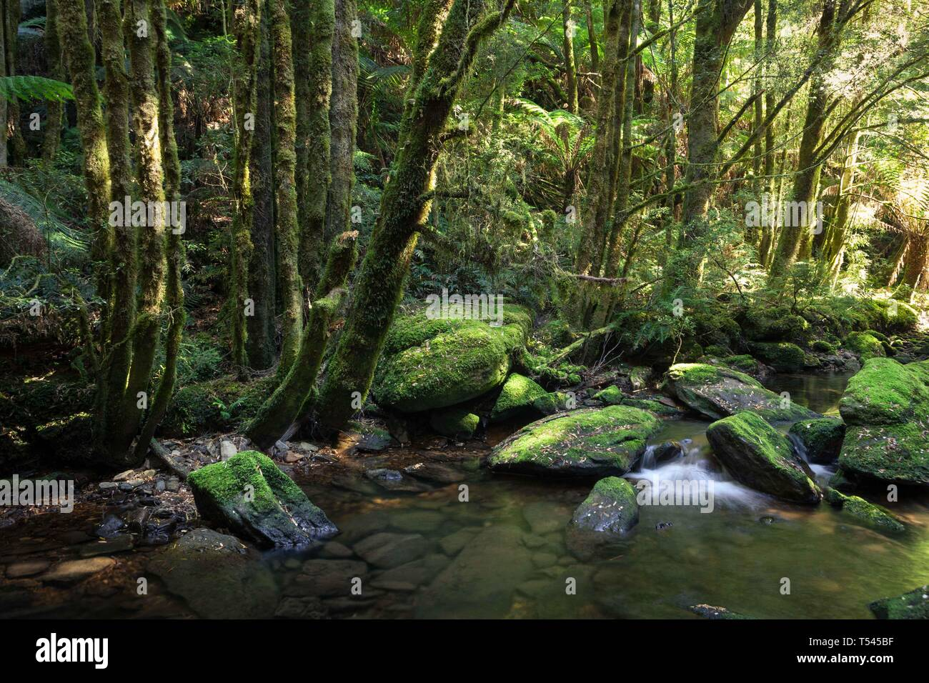 On the floor of the rainforest a shallow stream flows past moss-covered rocks and huge towering trees. - Stock Image