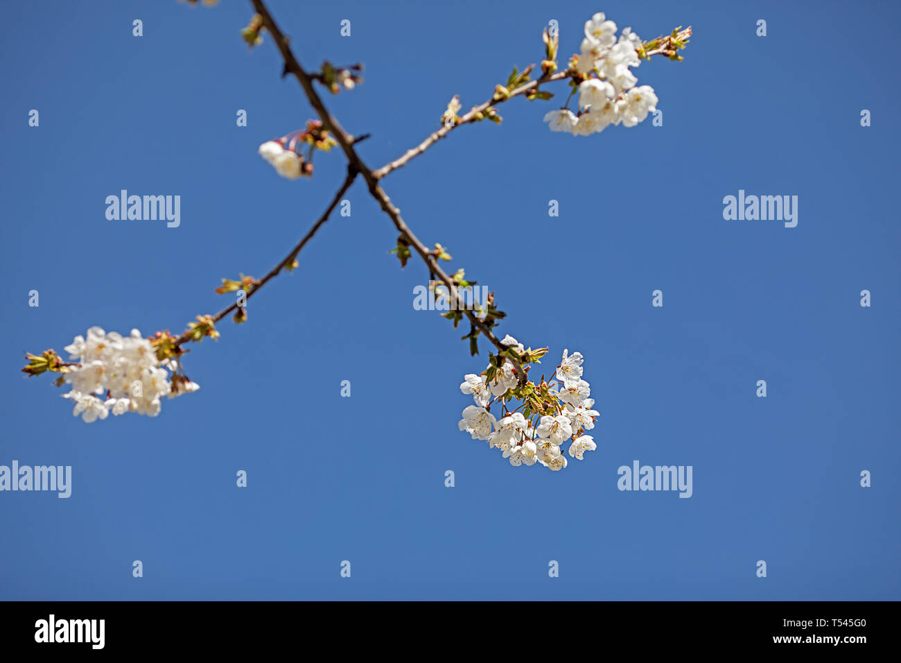 fruit tree blossoms against blue sky - Stock Image