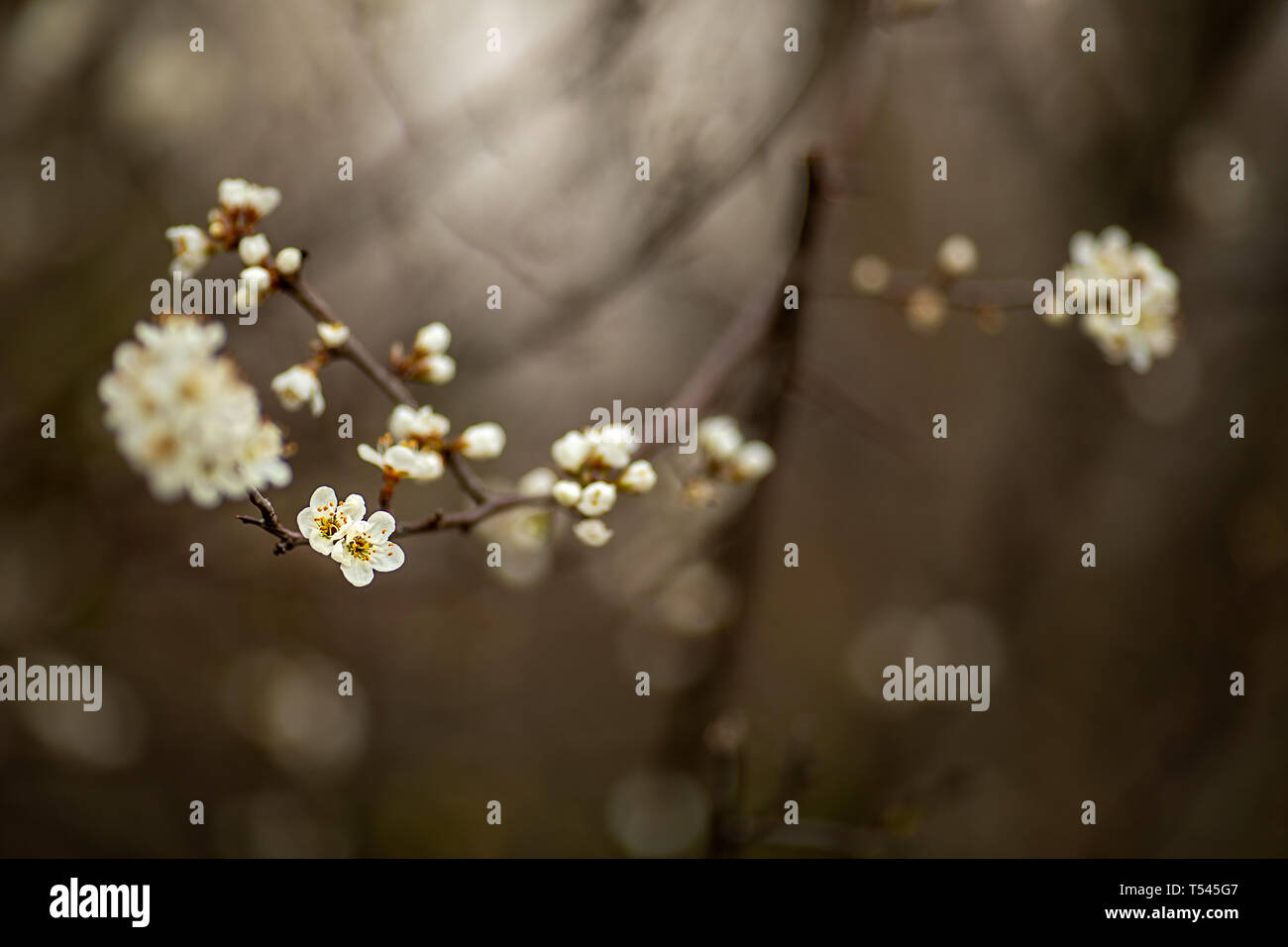 Shooting in Haiku Wabi Sabi style gentle imperfect modest fruit tree blossoms - Stock Image