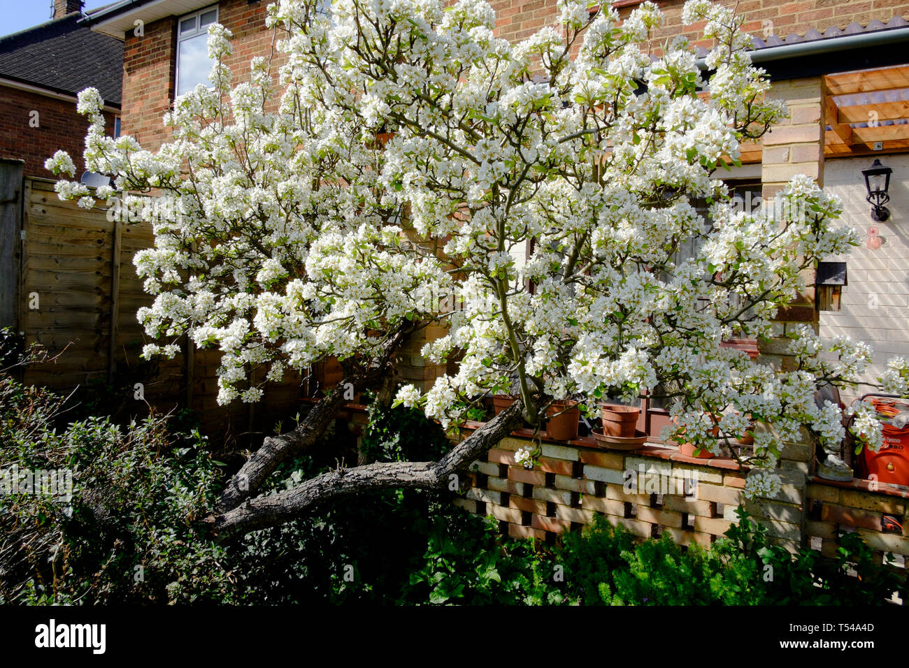 Pear tree in blossom in suburban London garden. - Stock Image