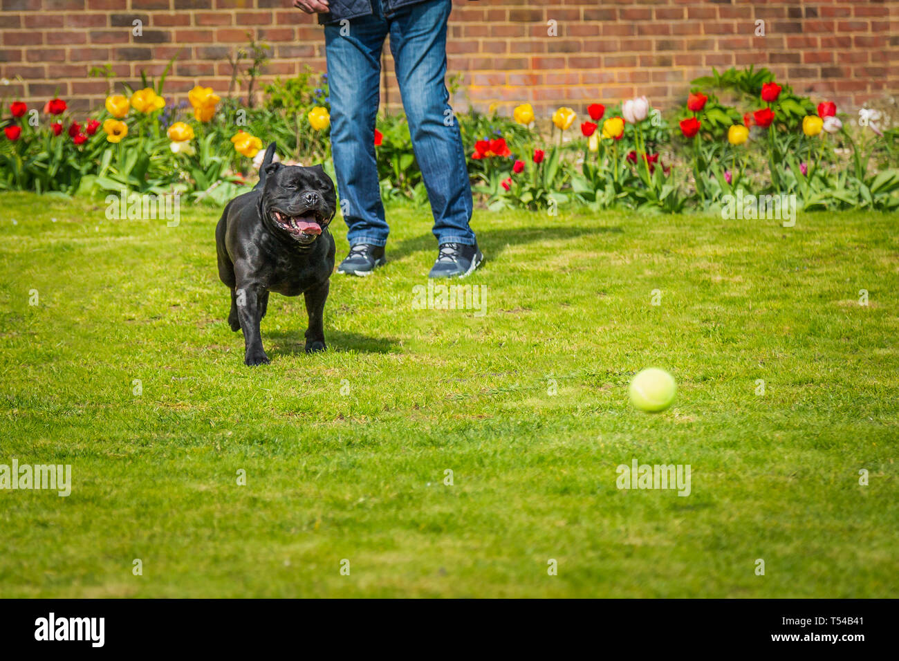 Black Staffordshire bull terrier dog running chasing after a tennis ball thrown by a man, on grass in a garden or back yard with tulips and a brick wa - Stock Image