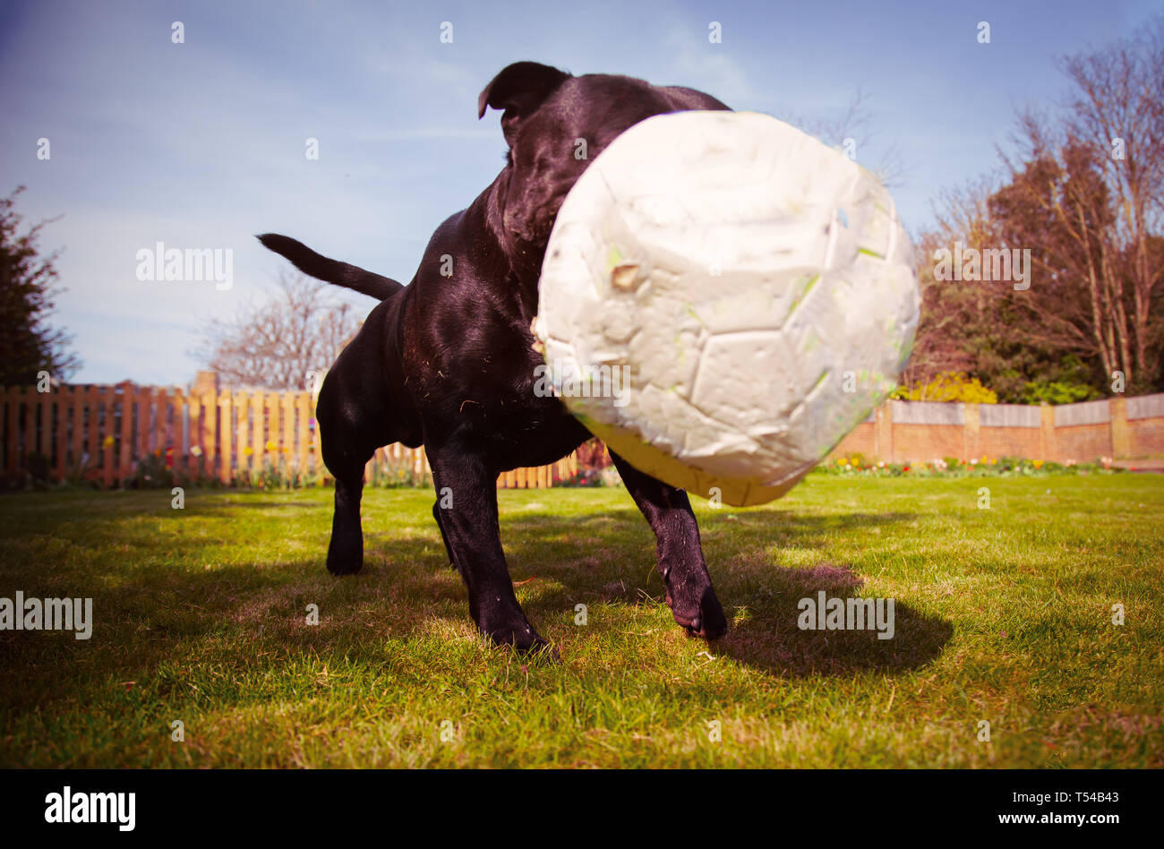 A Staffordshire bull terrier dog playing with a soccer ball that is a bit deflated after chewing. Taken from a low angle as the ball bounces in-front  - Stock Image