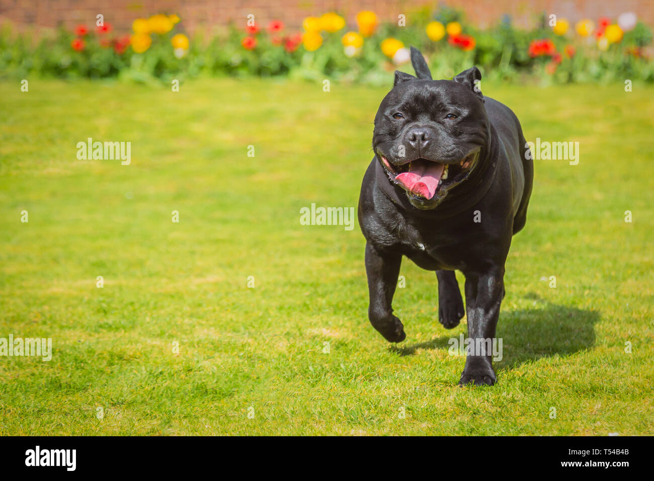 Happy black Staffordshire Bull Terrier dog running on grass on a sunny day with a big smile on his face and tulips in the background - Stock Image
