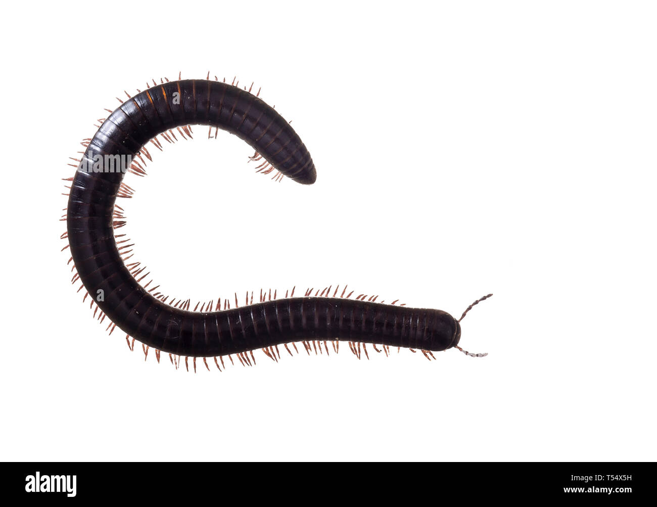Julidae. Dark brown and orange millipede, about 7cm long, Europe. The ultimate creepy crawly. Isolated on white background. - Stock Image