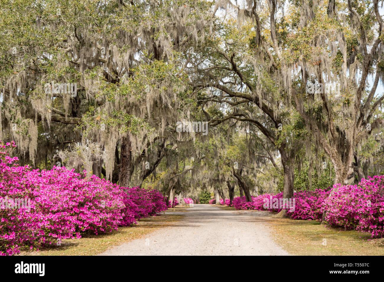 Azalea flowers in full bloom along the avenue of oaks in Bonaventure Cemetery in Savannah, Georgia - Stock Image
