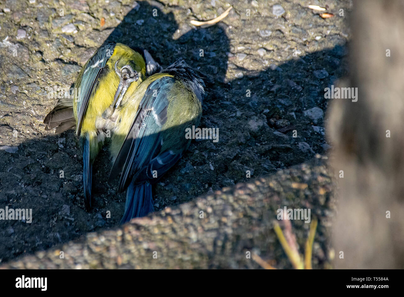 A pair of bluetit wild birds (Cyanistes caeruleus) on the ground mating in spring, Clacton on Sea, Essex, UK Stock Photo