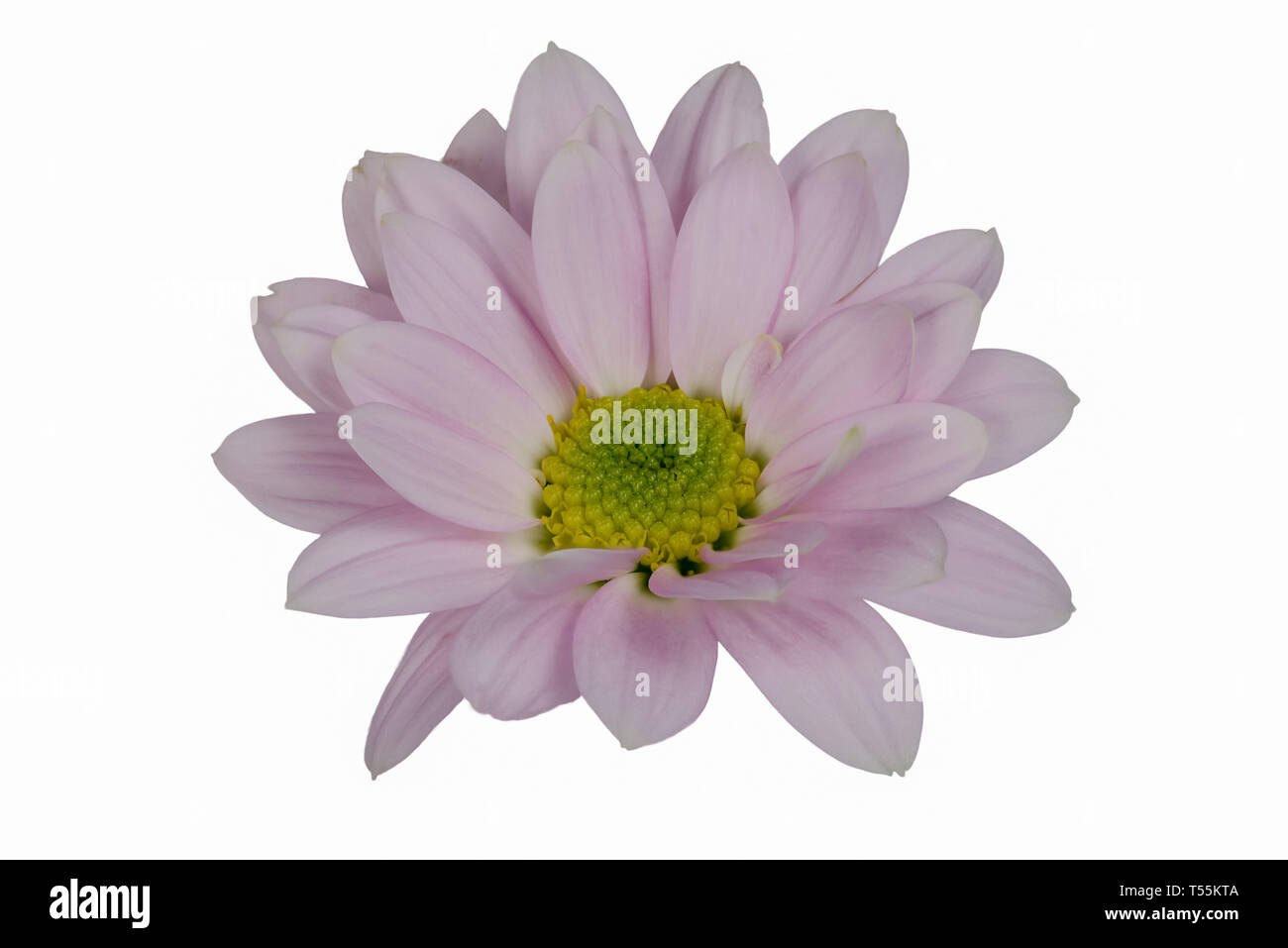 Closeup focus stacked shot of an isolated light lila flower isolated on white background with clipping path - Stock Image