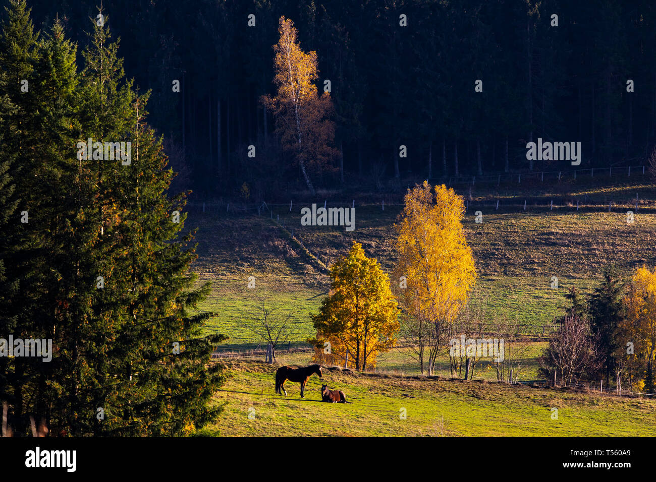 Autumn forest, horses in a pasture, near Bad Berleburg, Siegen district, Wittgenstein, in Sauerland, NRW, Germany, - Stock Image