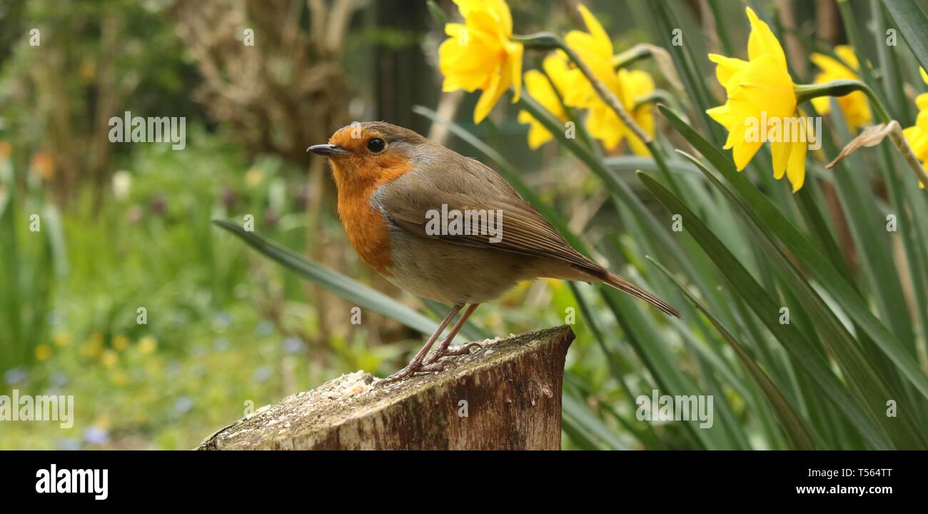 Wide angle portrait of European Robin (Erithacus Rubecula) perched on stump among spring flowers in an English garden. April 2019, Midlands, UK - Stock Image
