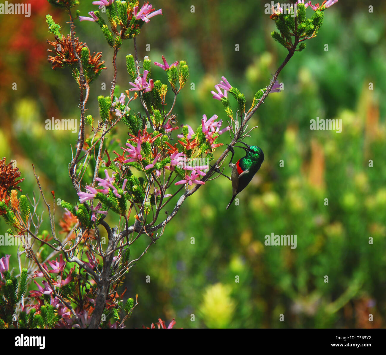 Harold Porter Botanical Gardens.  Close up of a tiny, beautifully colorful Double Collared Sunbird on Erica Fynbos in South Africa. Note the open beak - Stock Image