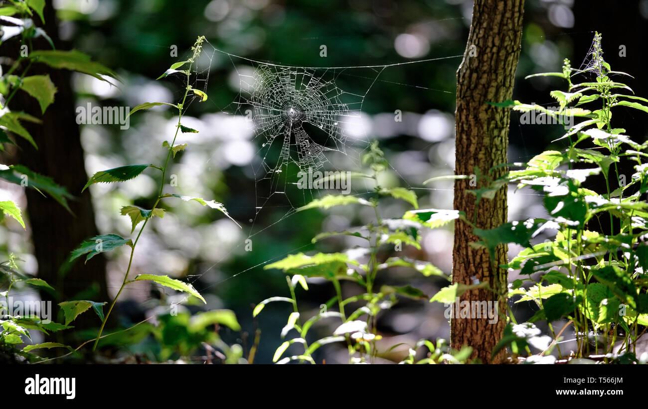 Back lit spider web, Mt Royal park, Montreal, Canada. - Stock Image