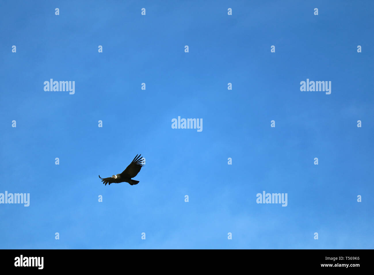 One Andean Condor Bird Flying in the Blue Sky over Colca Canyon, Arequipa region, Peru, South America - Stock Image