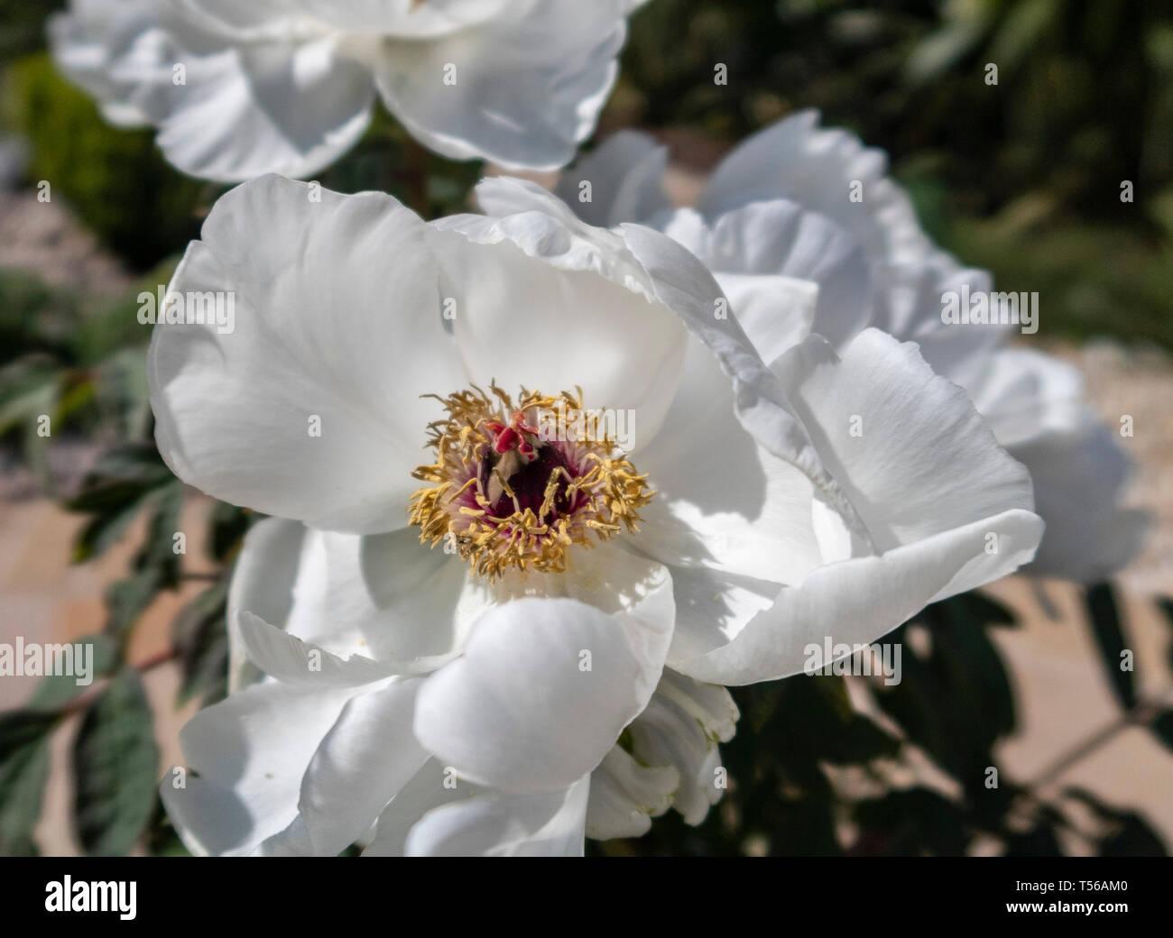 White Tree peony in flower bloom. Peonia suffruticosa white Stock Photo