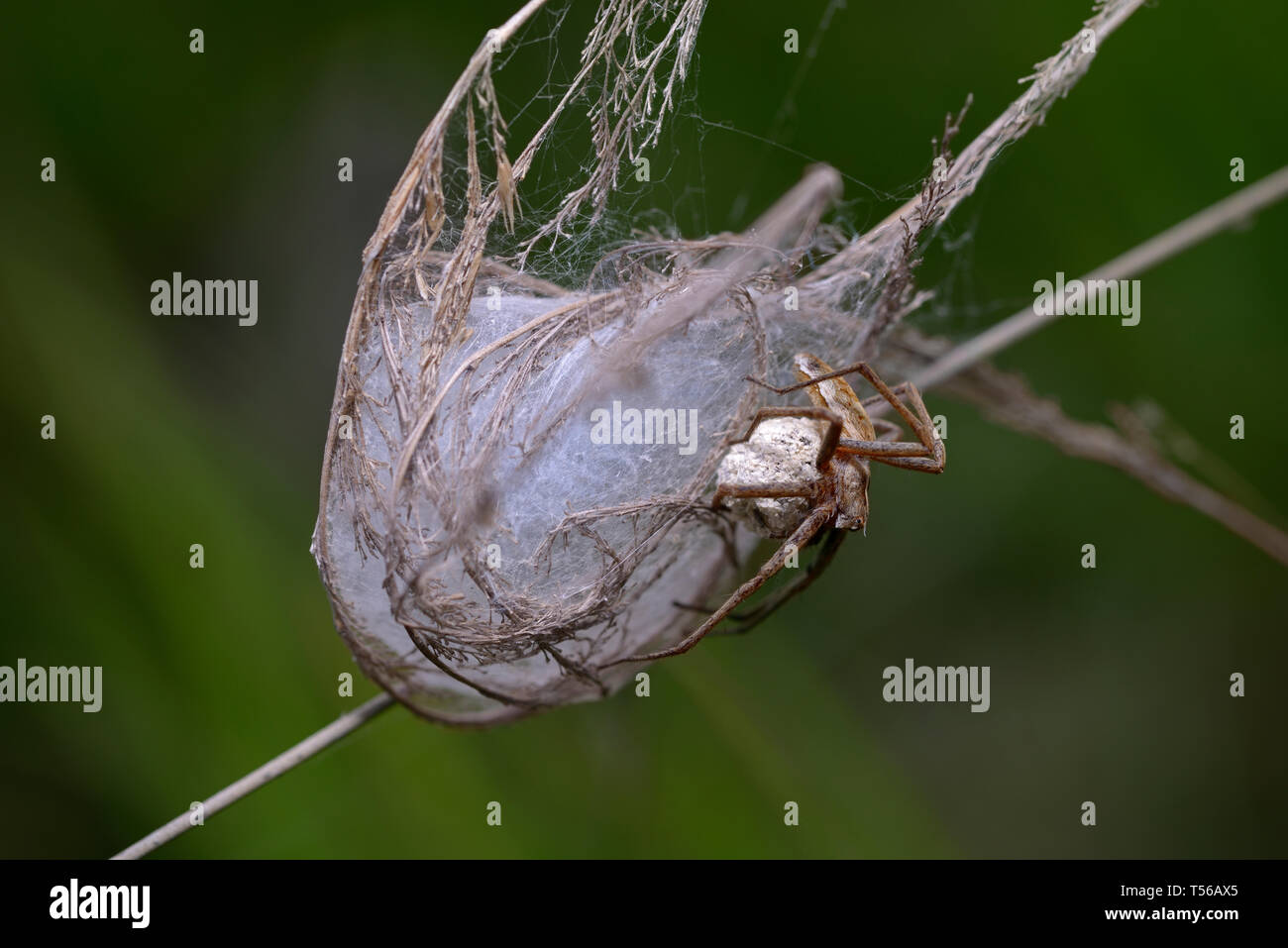 Wolf spider guarding its nest, holding a cocoon in paws - Stock Image