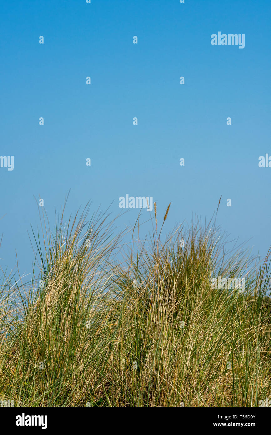 maram grass and sand dunes in the summer with blue sky at bembridge on the isle of wight, uk. - Stock Image