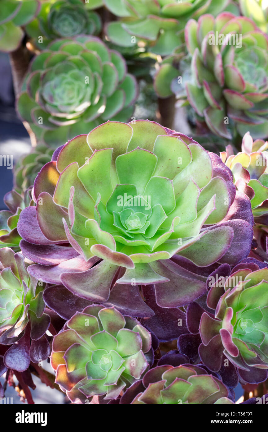 Aeonium 'Velour'. Houseleek Tree. Stock Photo