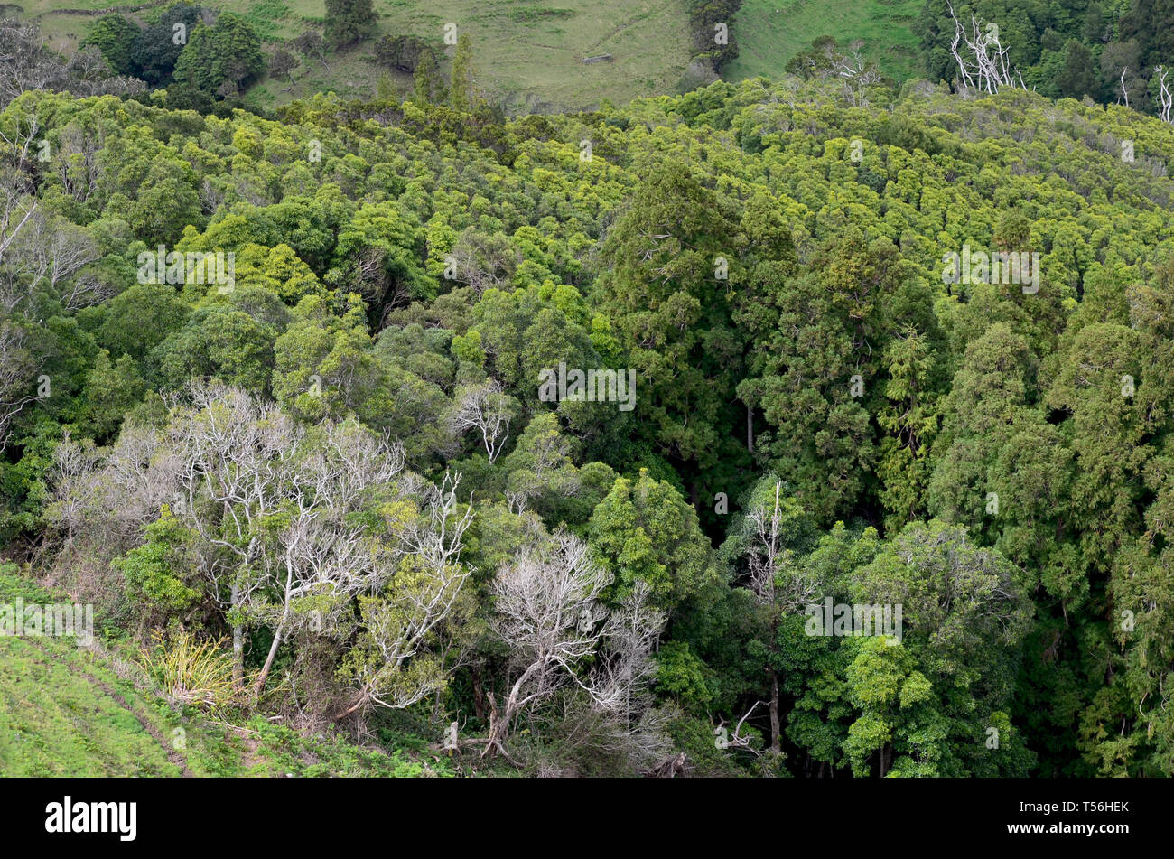 Mixed laurisilva forest and conifer plantations in Santa Maria island, Azores archipelago - Stock Image