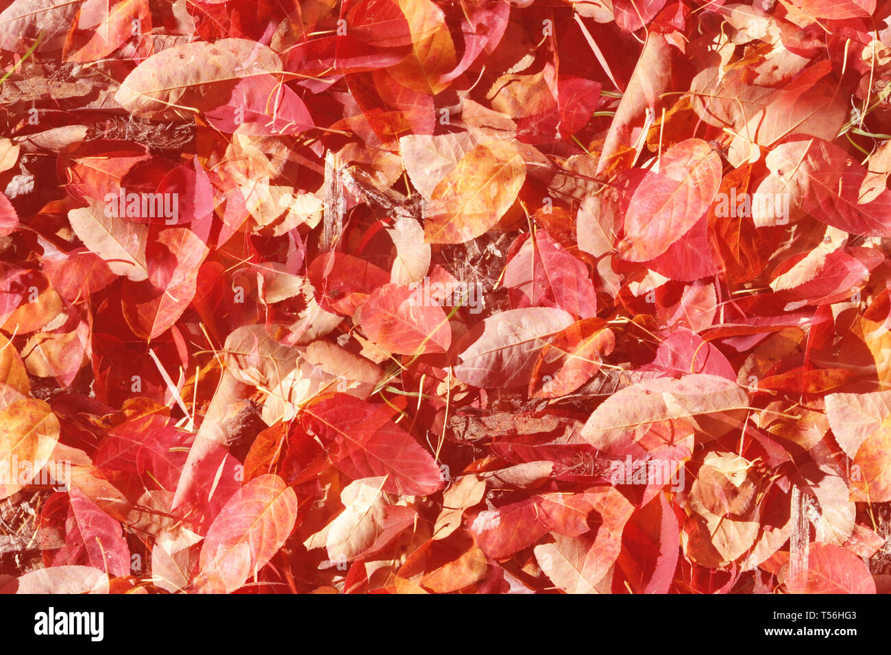 Stylised overlay design background of seamless autumn leaves that will tile endlessly - Stock Image
