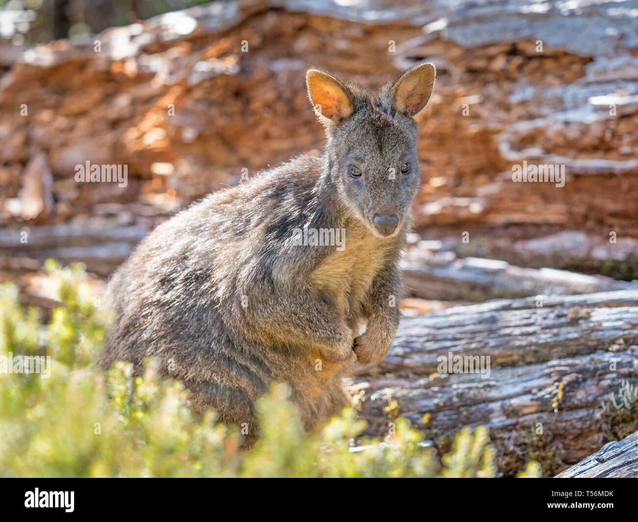 A wallaby in Cradle Mountain - Lake St Clair National Park in Tasmania, Australia. Stock Photo