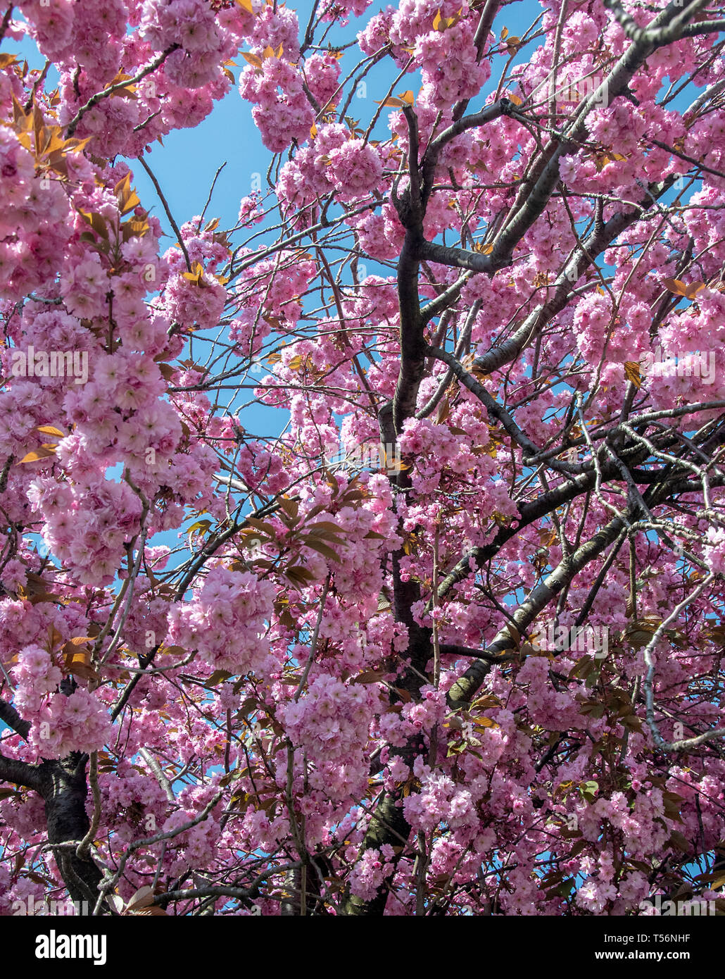 A Close Up Of Cherry Blossom Trees In The Springtime Stock Photo Alamy