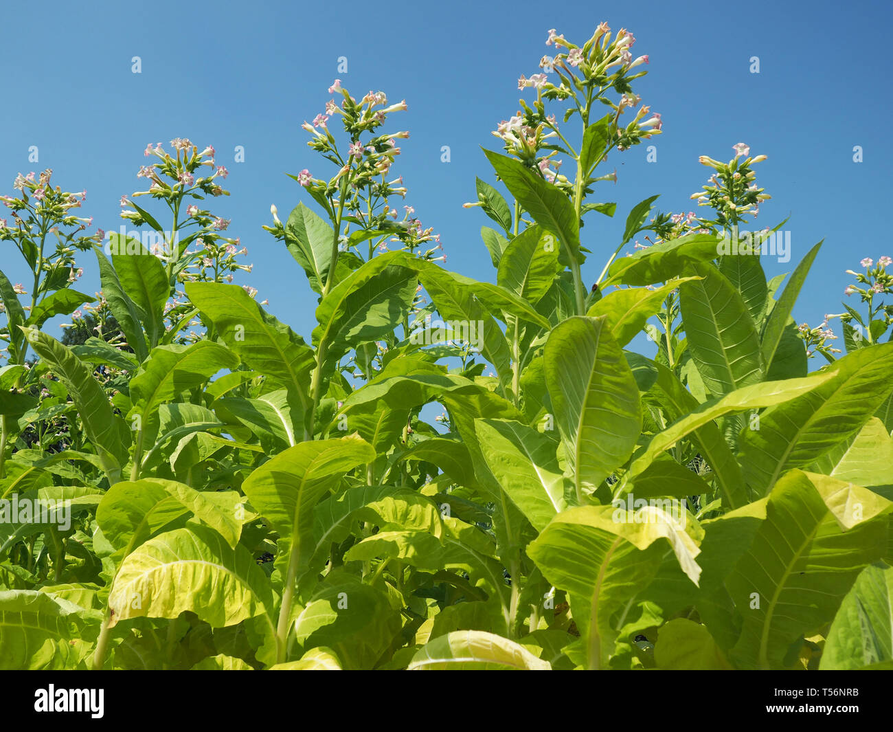 Green Tobacco Leaves and Blossoms - Stock Image