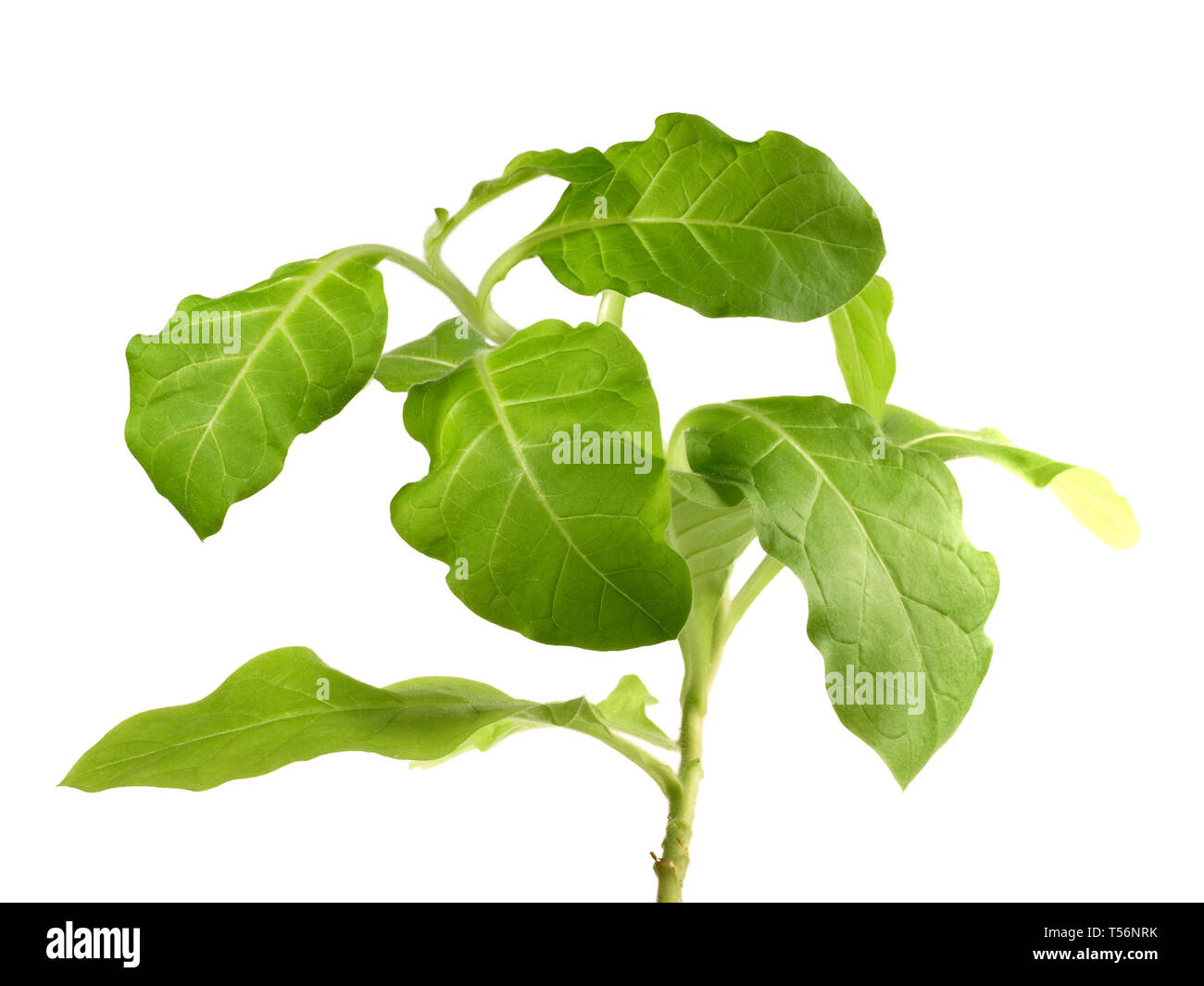 Small growing Tobacco Plant - Stock Image