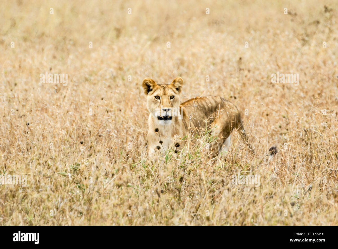 Tanzania Safari Stock Photo